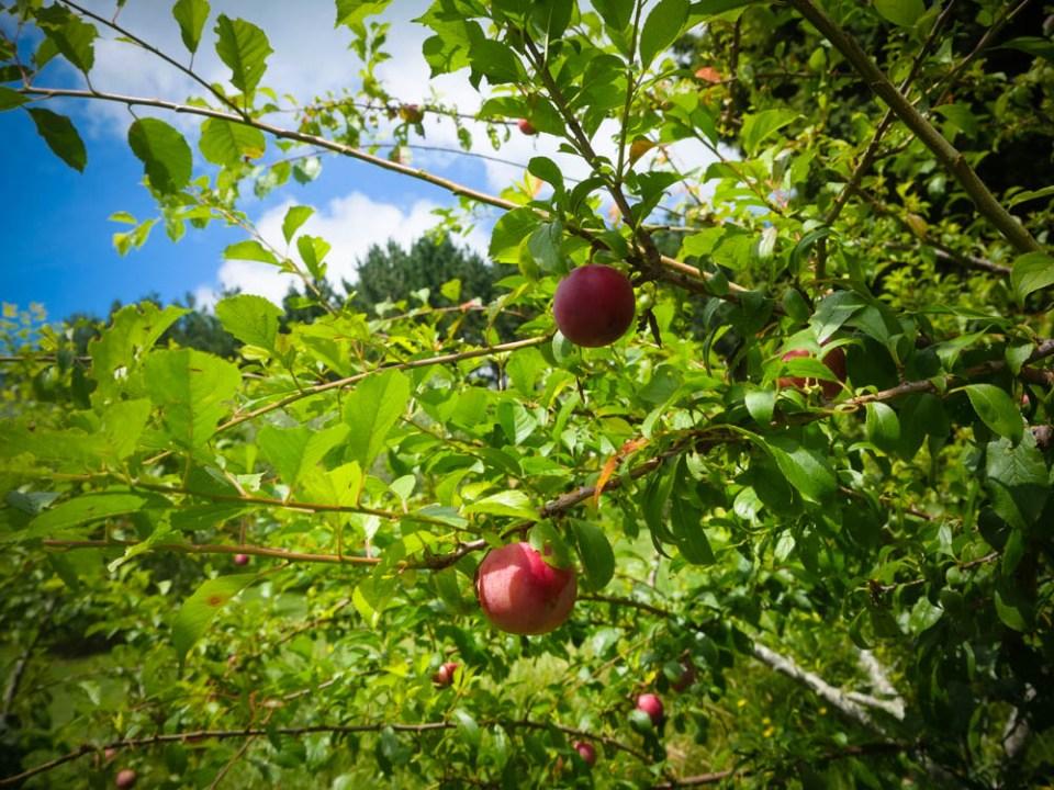 nameless-plum-1100596
