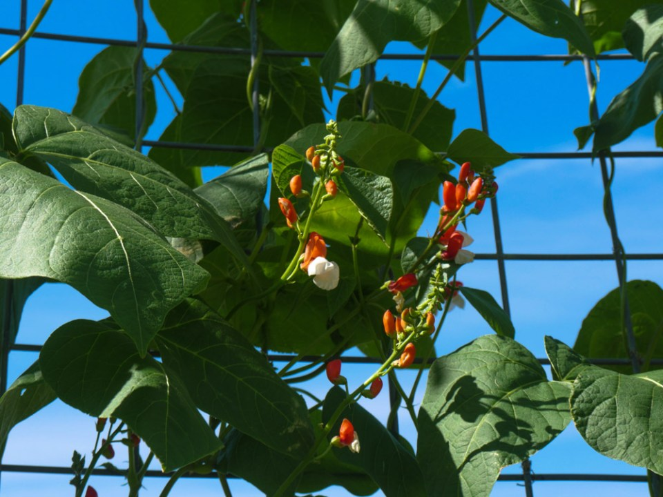 painted-lady-runner-beans-1100644