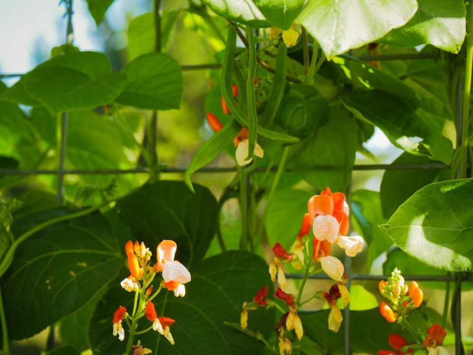 painted-lady-runner-beans-1110122