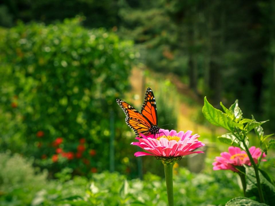 Monarch-1120761