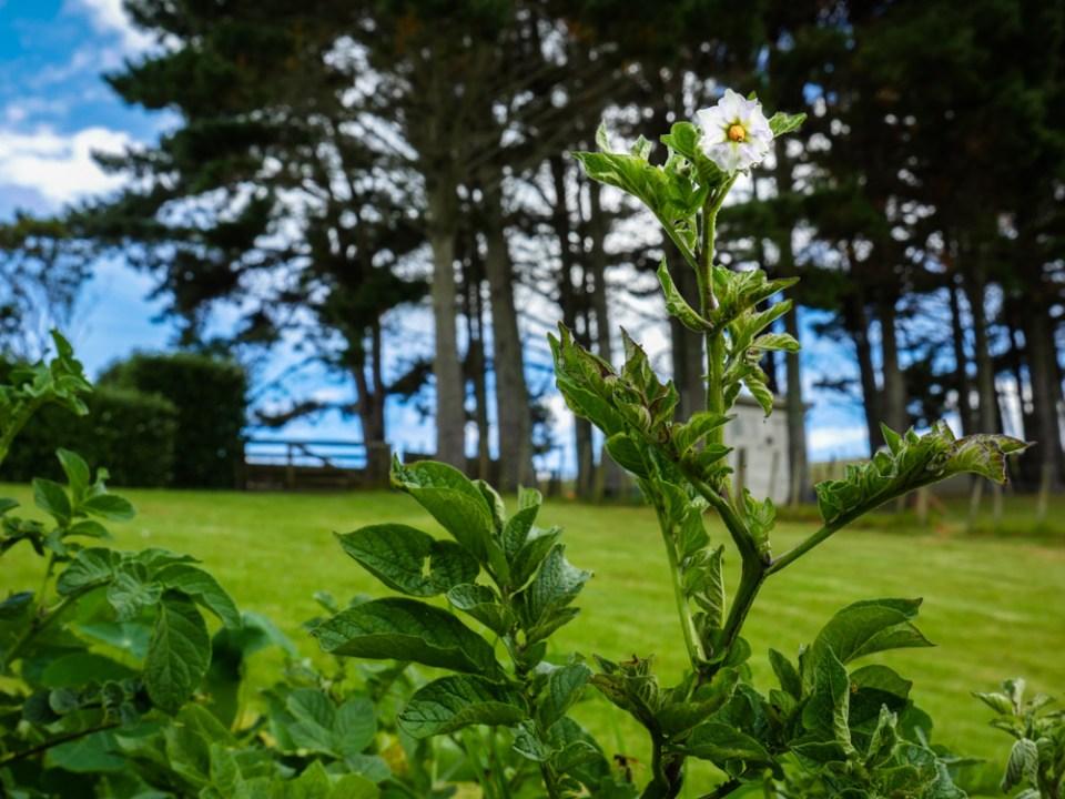 spud flower-1120777