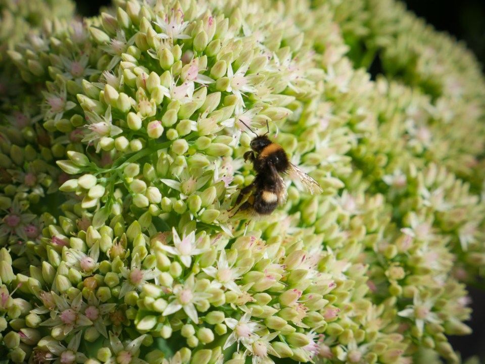 bumble in sedum-1130138