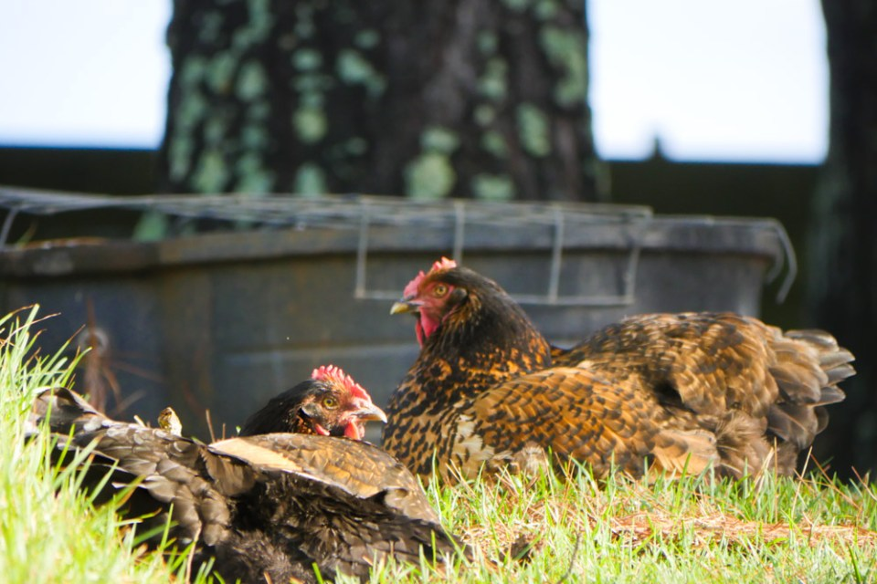 chickens-sunbaking-1140301