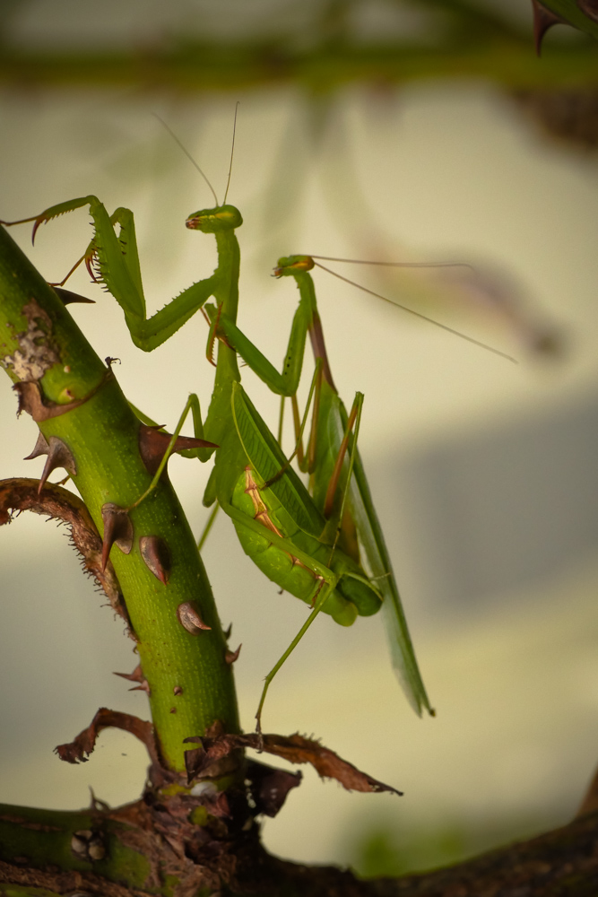 pray-mantis-1130939