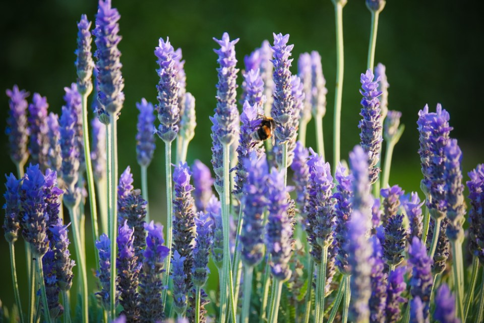 lavender-bumble-bee-1150056