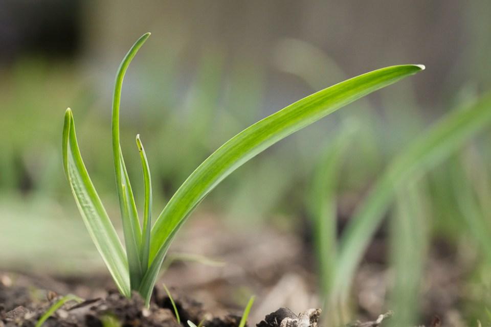 garlic-1150419