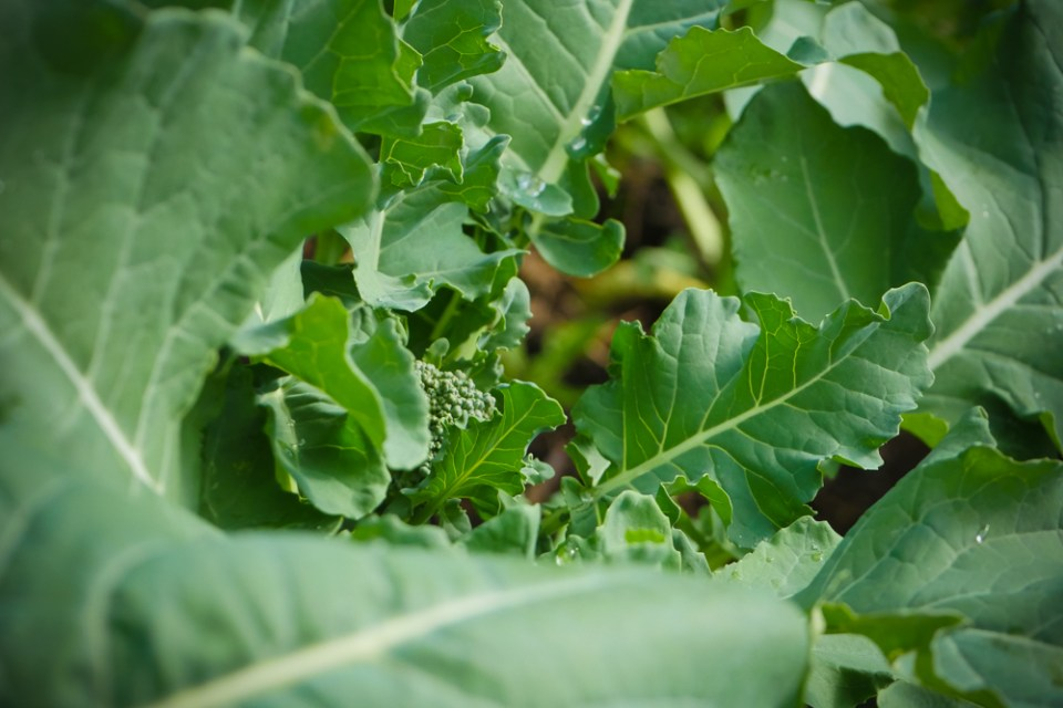 baby-broccoli-1160664