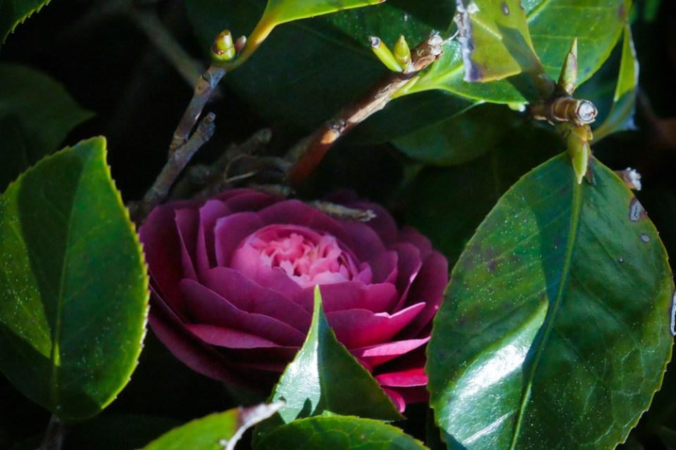 camellia magic-1160437
