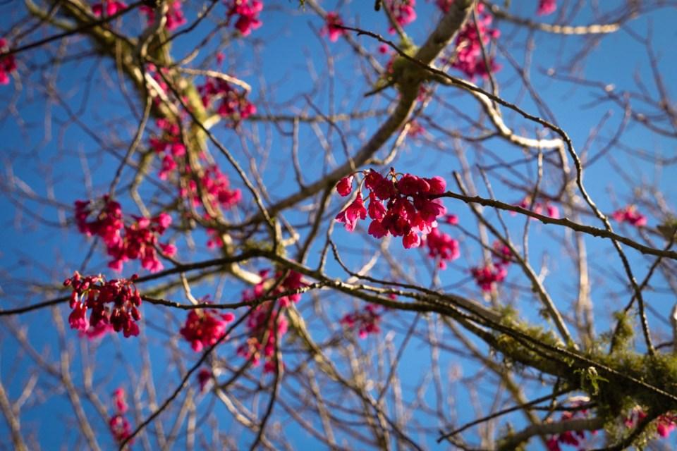 cherry blossom-1160456