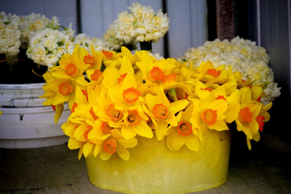 daffs and early cheer-1160557