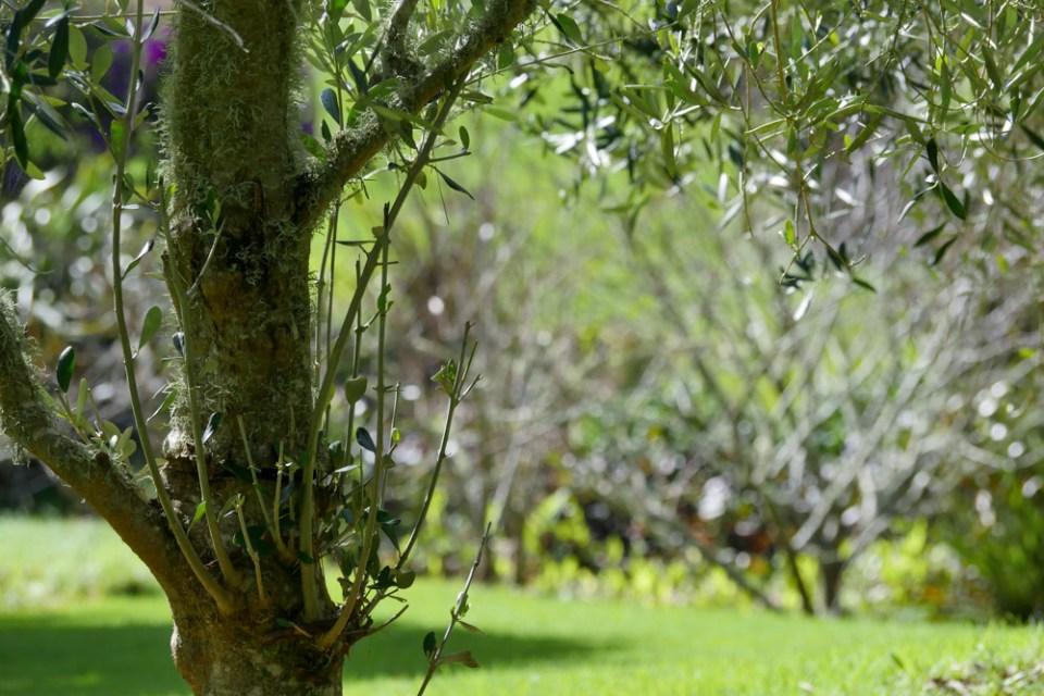 olive-trees-1160267