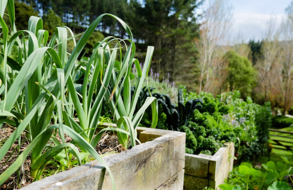 garlic raised beds-1180972