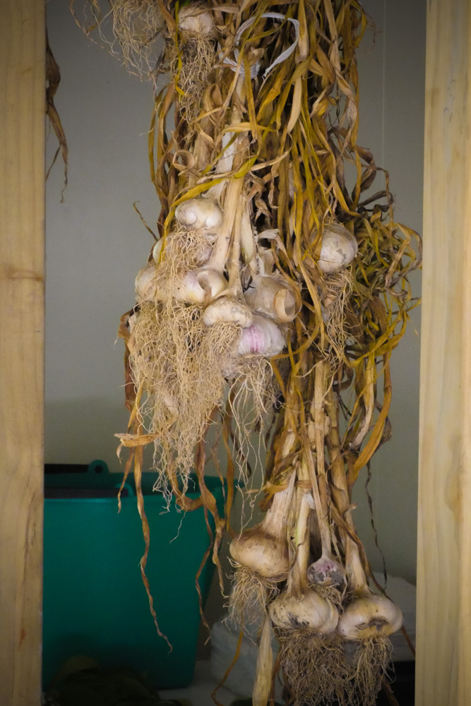 Garlic-1210035