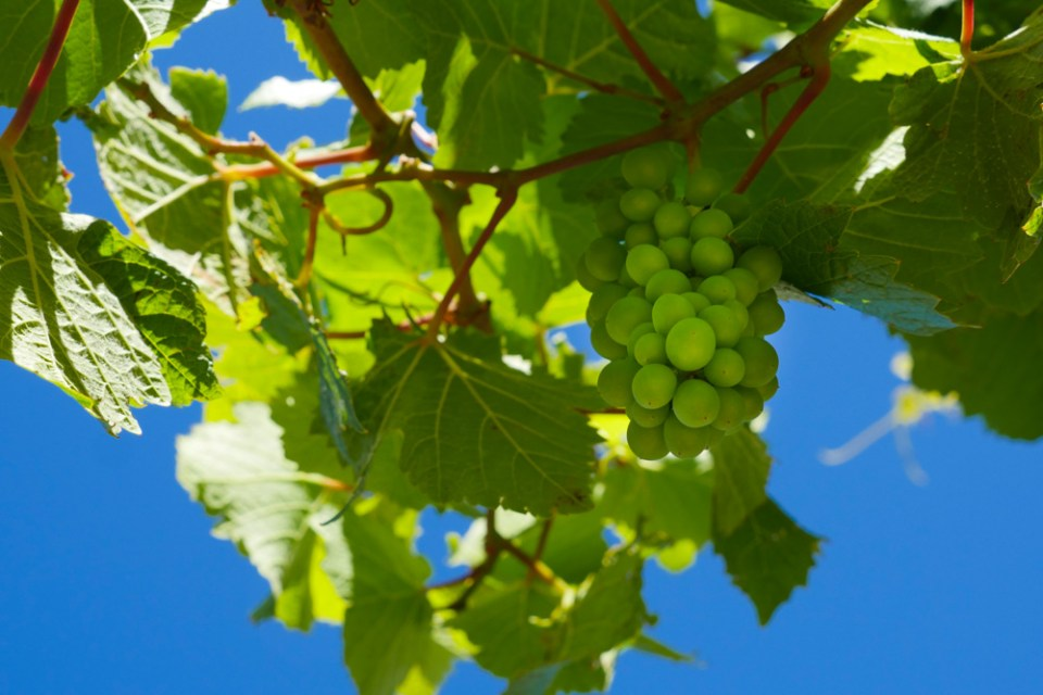 PN Grapes Clutha-1210369