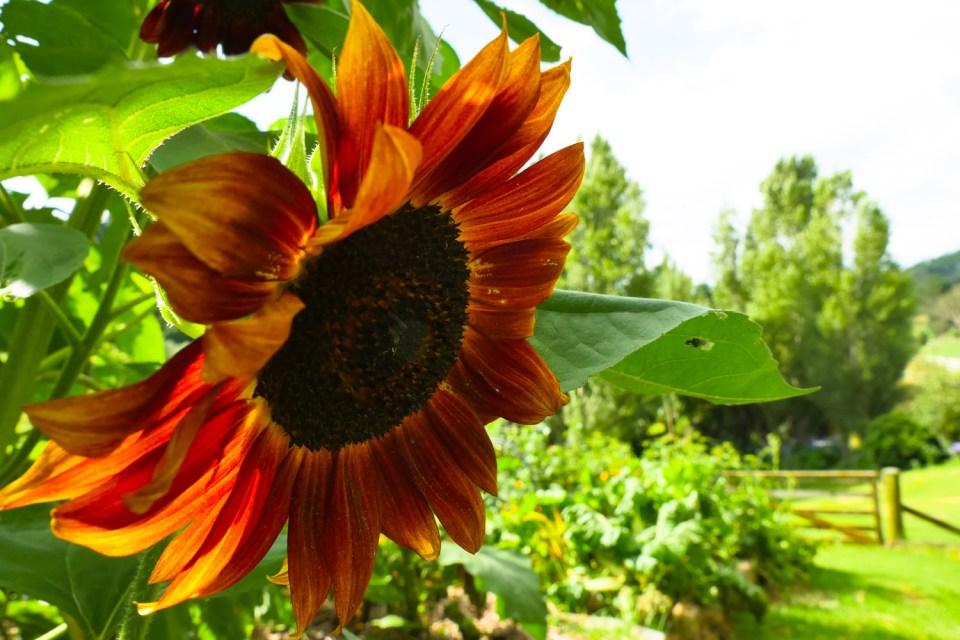 sun flower-1220392