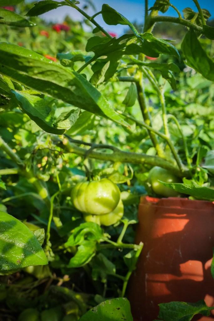 tomato-1220434