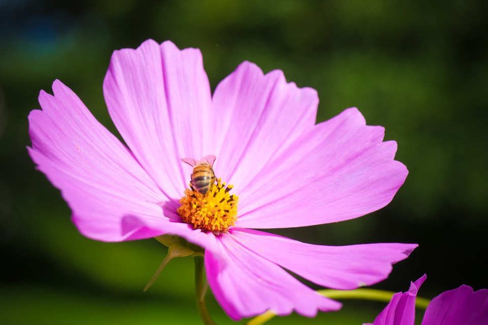 Honey bee enjoying a cosmos flower