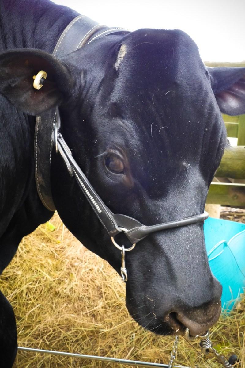 prize winning cow