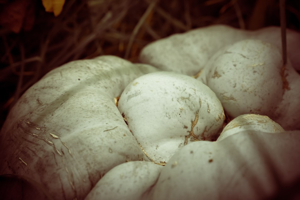 self seeded large turban pumpkin