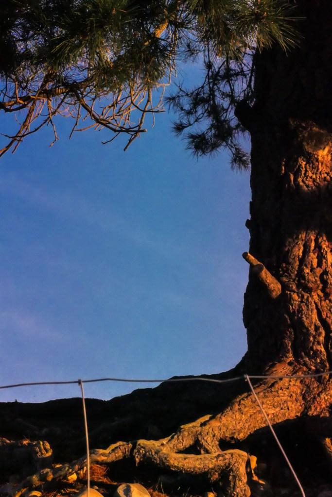 Lone pine-1240476