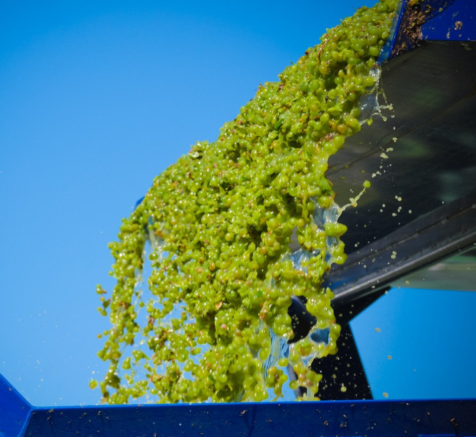 sauvignon blanc grapes tumbling from the gondala
