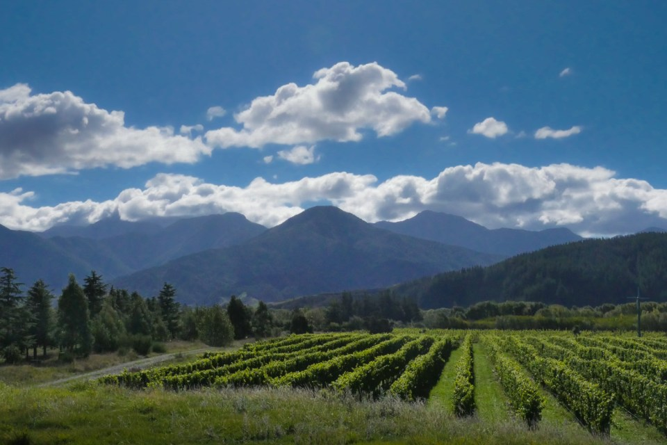 marlborough vineyard in the sunshine