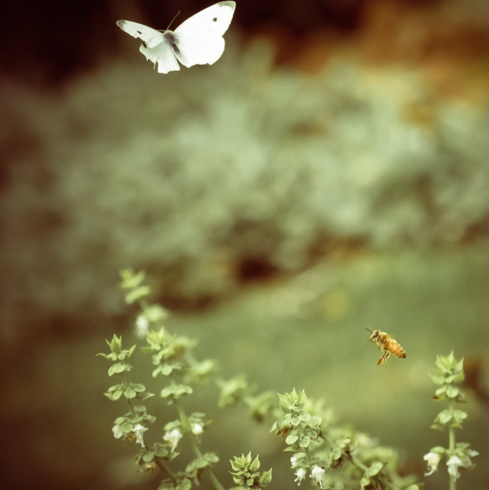 basil and white butterfly and honey bee