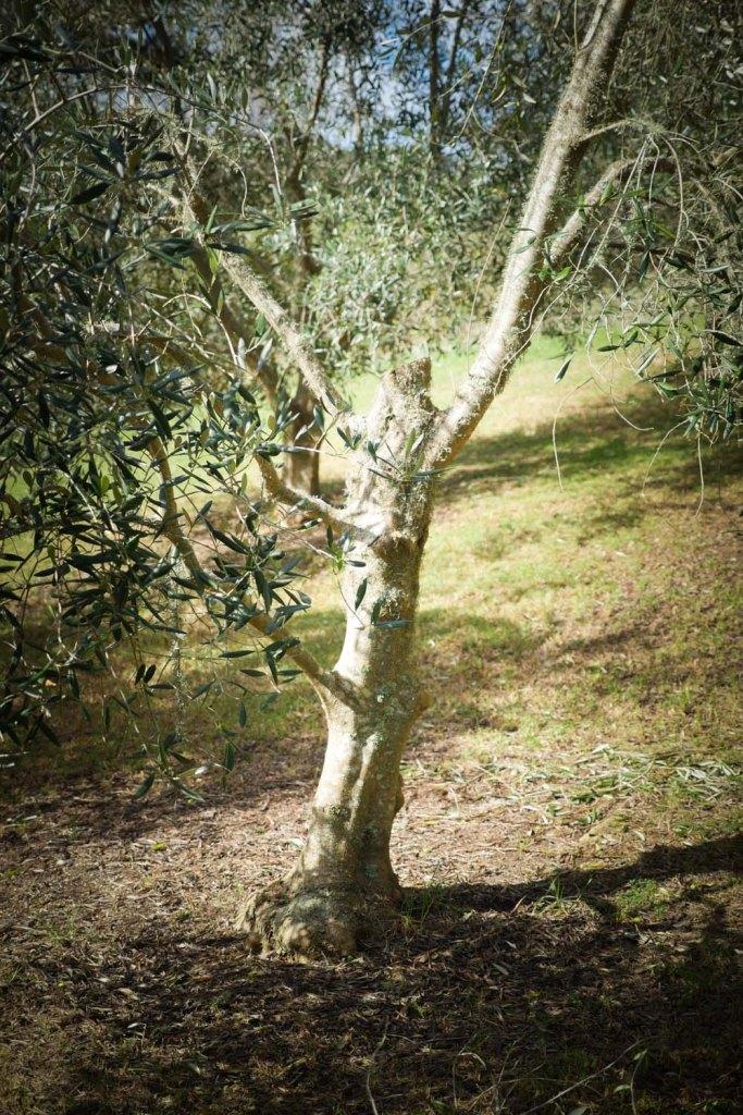 olive tree-1250091
