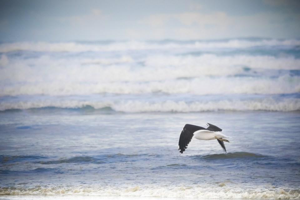 seagull Muriwai-1250370