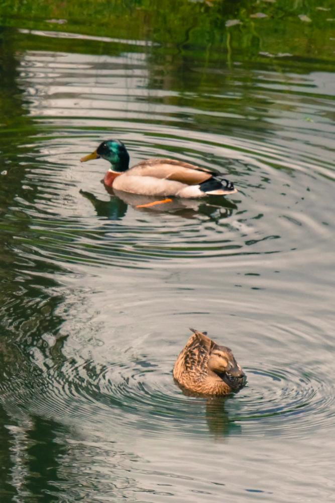 Mallard_ducks-1180240
