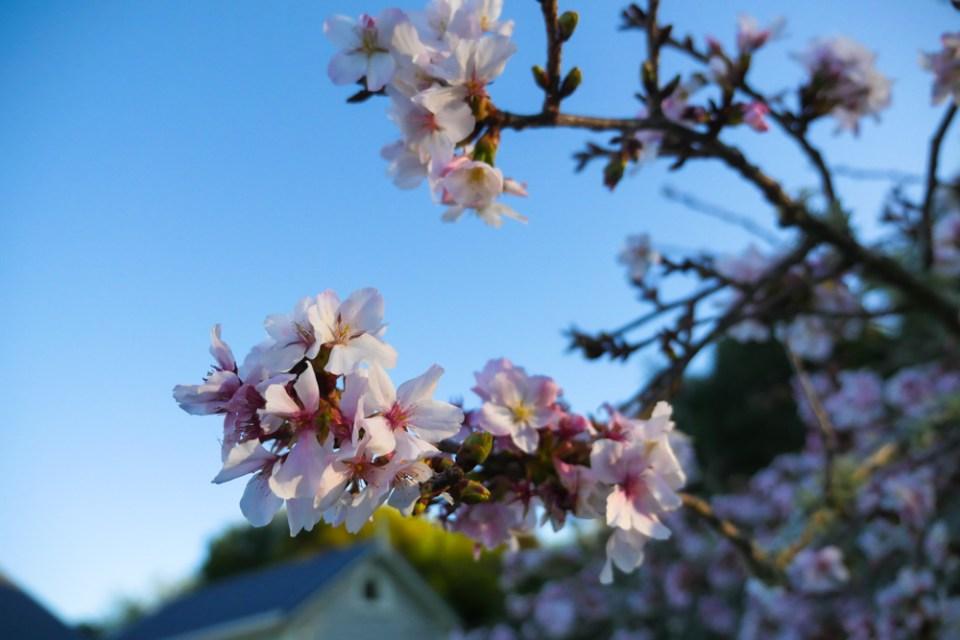 cherry-blossom-1270687