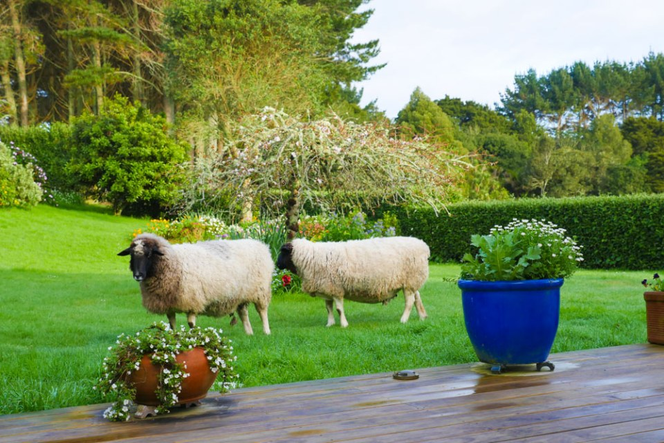 sheep_in_backyard-1270628