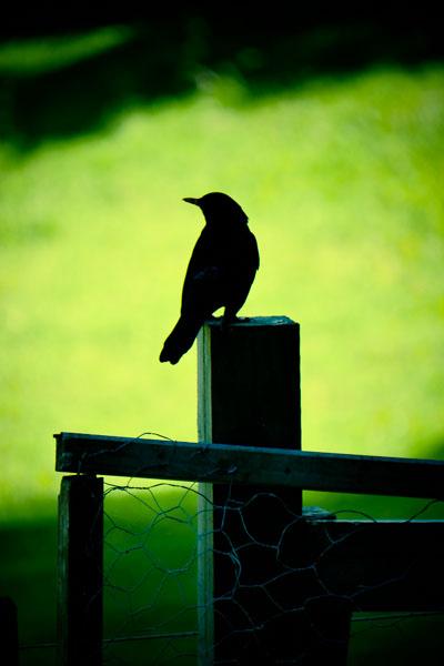 blackbird-1280426