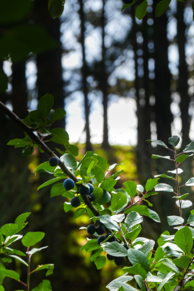 damson-plum-tree
