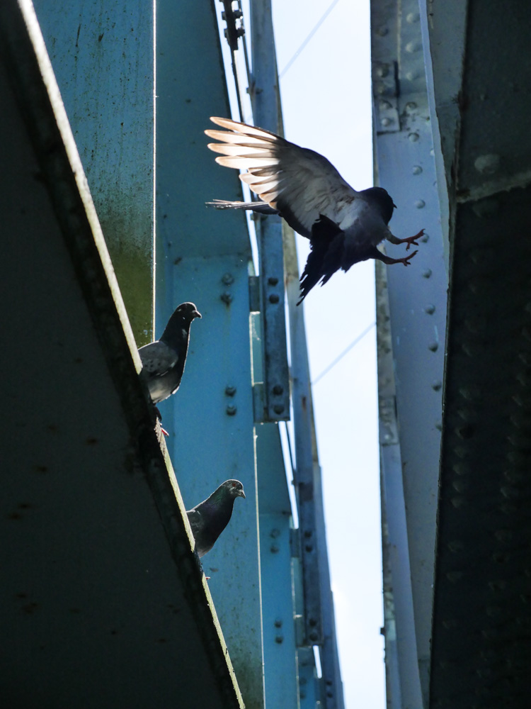 Pigeons under bridge