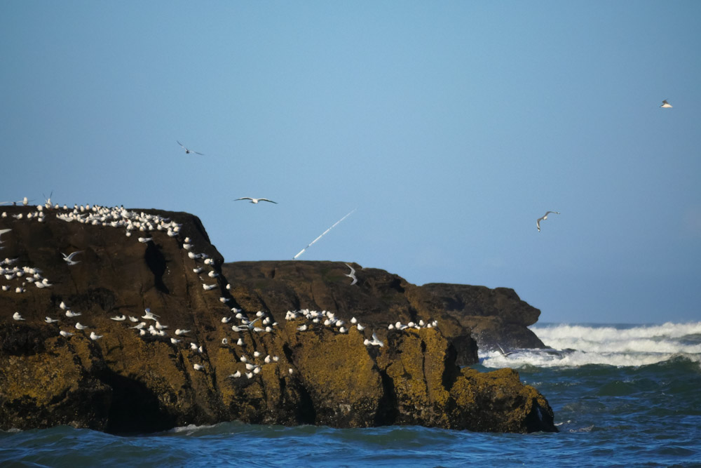 terns and fishing at Muriwai beach