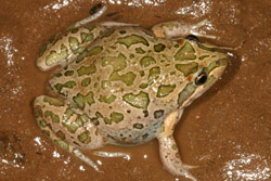 Spotted Marsh Frog (Limnodynastes tasmaniensis) Copyright Amphibian Research Centre. Photograph by Lydia Fucsko.