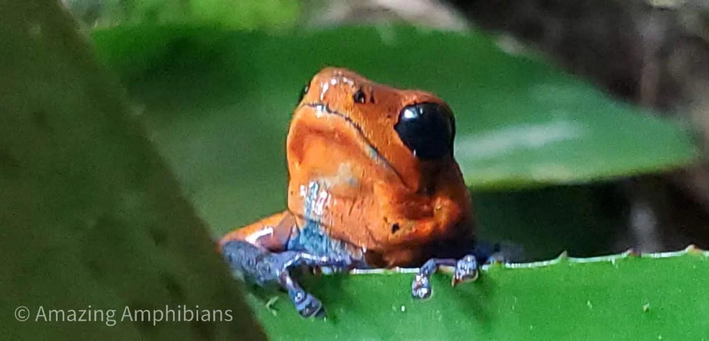 Oophaga pumilio 'Blue Jeans' poison dart frog