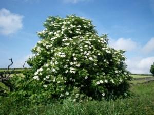 бузина черная , красавица- дерево...)