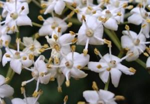 Бузина черная цветы , очень маленькие и великолепны !