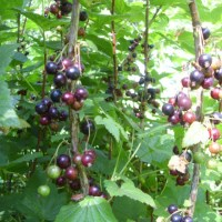 Blackcurrant season is here.