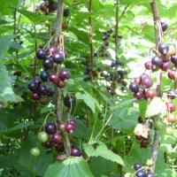 Blackcurrant season is here.