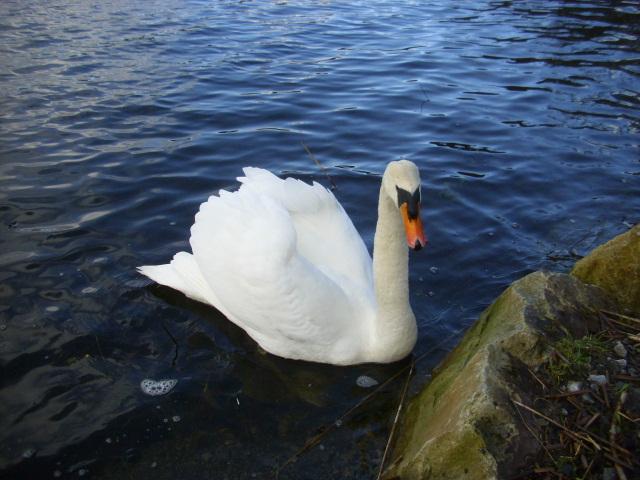 Swans by Lough Meelagh.  (3/3)