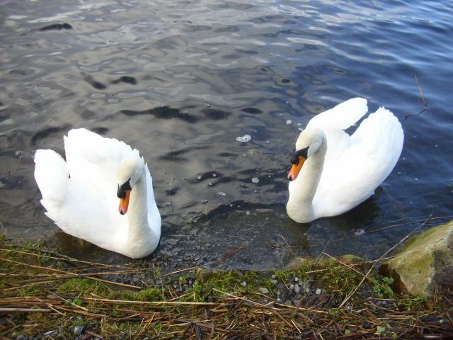 Swans by Lough Meelagh.  (2/3)