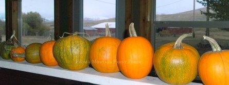 Pumpkins from this years garden.