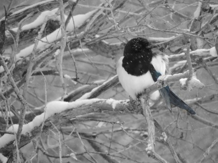 Magpie ~ From a Montana Front Porch
