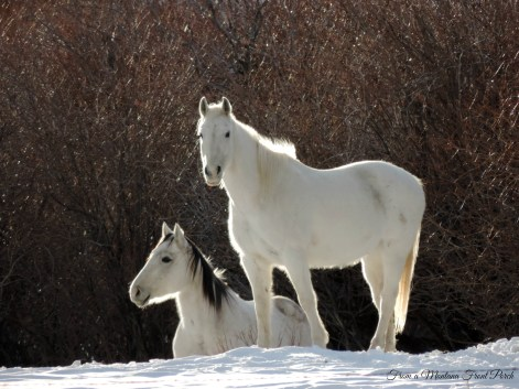White horses ~ From a Montana Front Porch