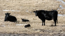 A couple of the first calves this year!