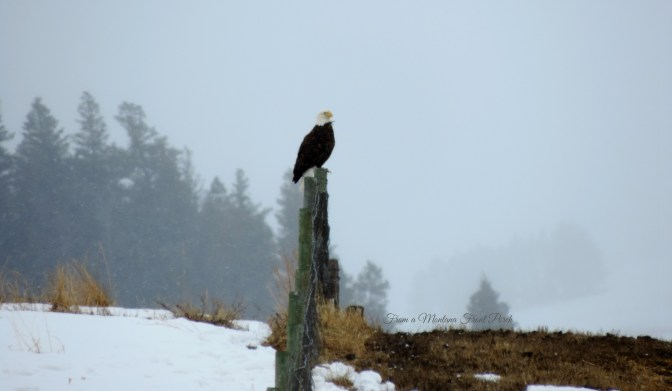 Sentinel ~ From a Montana Front Porch