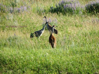 Sandhill Cranes ~ From a Montana Front Porch